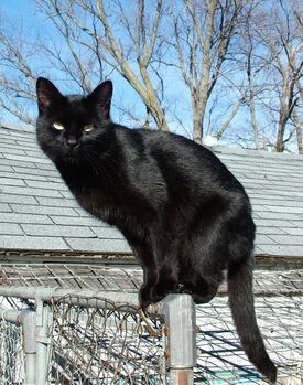 Blackcat-Lilith