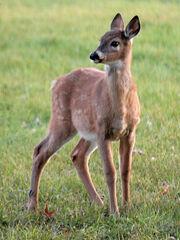 DeerPB170211