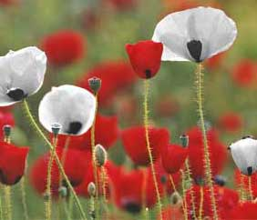 File:White poppies.png