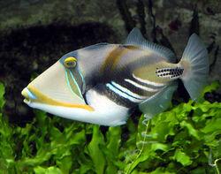 LagoonTriggerfish