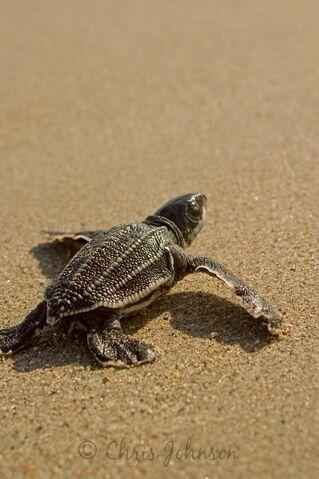 File:LeatherbackSeaTurtle.jpg