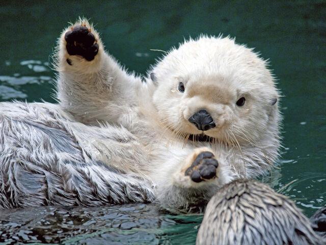 File:Funny Sea Otter 3.jpg
