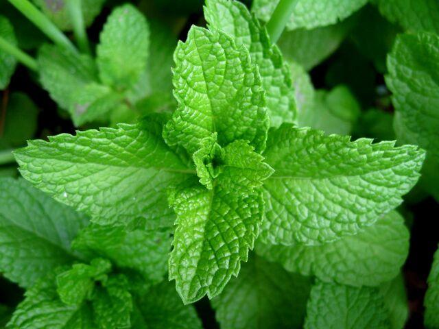 File:Mint-leaves-2007.jpg