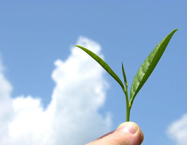 File:Organic mountain grown tea leaf.jpg