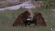 Grizzly Bear (real)