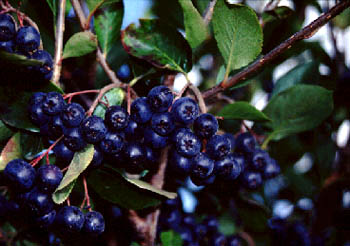 File:Chokeberry.jpg