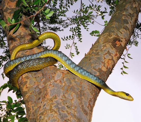 File:Green-Tree-Snake.png