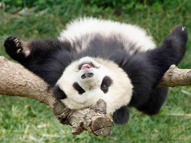 File:Wildpanda.jpg
