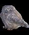 C227 Carrier birds i04 Pygmy owl