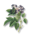 C228 Herbalists advice i01 Elderberry twig