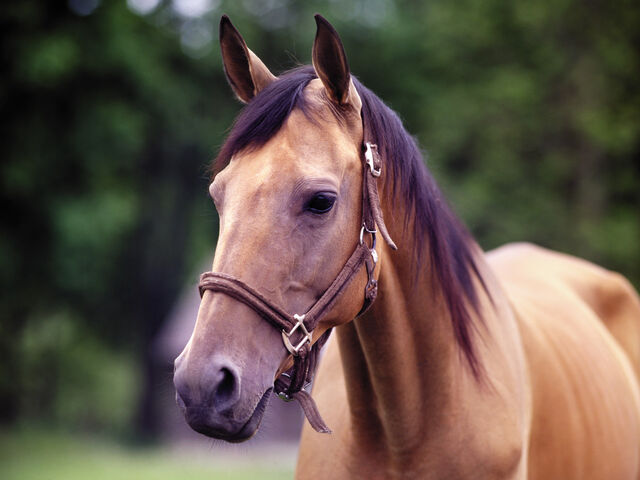 File:Maiden the Horse.jpg