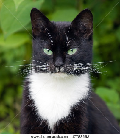 File:Stock-photo-portrait-of-a-black-cat-with-green-eyes-and-a-white-jabot-17788252.jpg