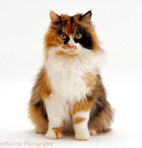 File:16656-Calico-female-cat-white-background.jpg