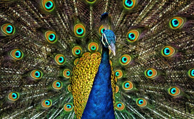 File:Peacock Plumage.jpg