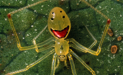 File:Happy Face Spider.jpg