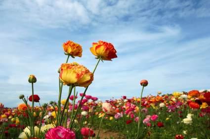 File:Flower-Fields-Carlsbad-Ranch.jpg