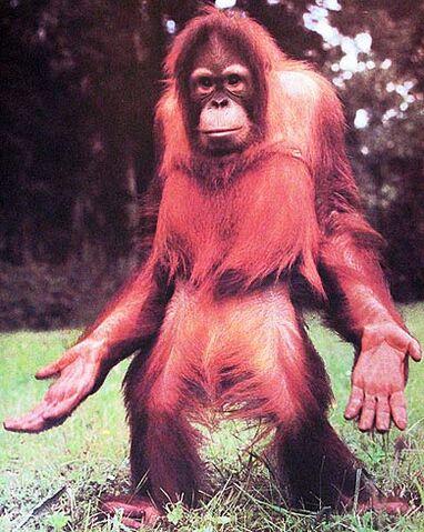 File:Orangutan-open-hands.jpg