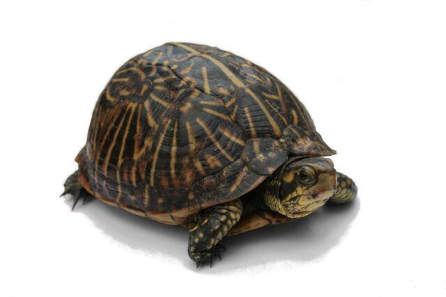 File:Florida Box Turtle.jpg