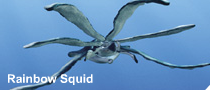 File:Rainbow squid.png