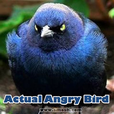 File:Actual angry bird.jpg