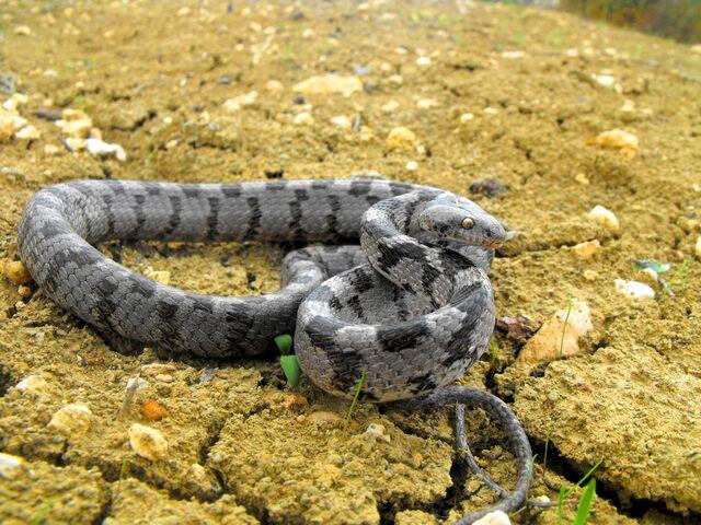 File:Mediterranean Cat Snake.jpg