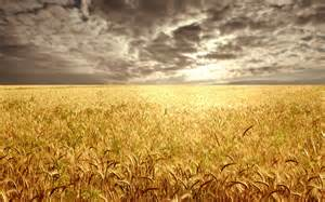 File:Wheat f.jpg