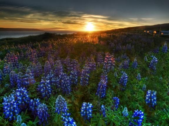 File:Blue-Wildflower-Meadow-575x431.jpg