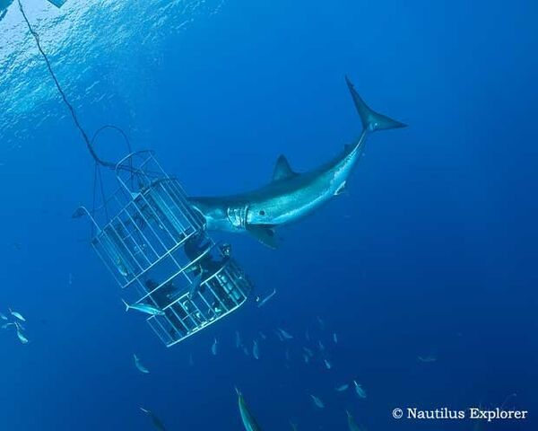 File:Guadalupe Shark Diving 3.jpg