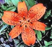 File:Tiger lilies.jpg