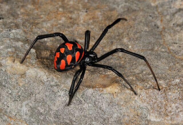 File:Latrodectus tredecimguttatus 1 (M Colombo).JPG