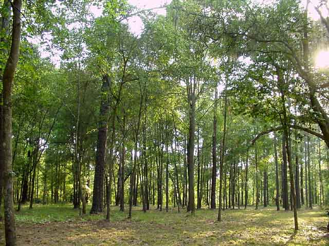 File:Forest150.jpg