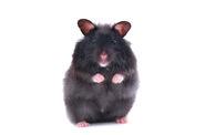 Black-bear-hamster-1