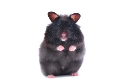File:Black-bear-hamster-1.jpg