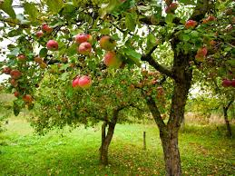 File:Apple Trees.png