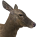 Rocky mountain elk female common
