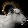 Dall sheep male common