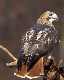 Regal Red-tailed Hawk form