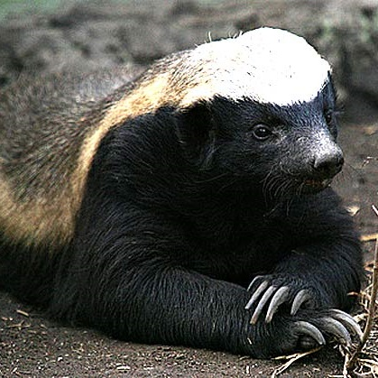 File:Honey-badger-dont-care-just-chillin.jpg