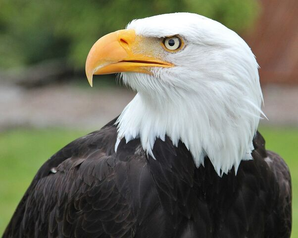 File:Bald-eagle-1075023 960 720.jpg