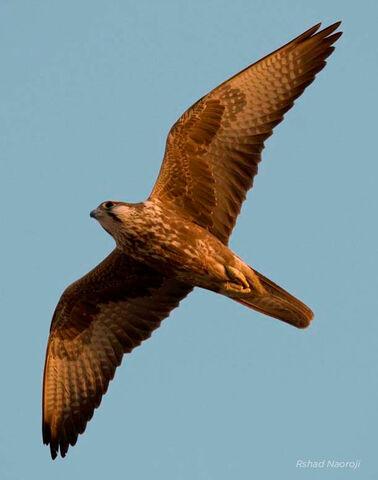 File:Laggar Falcon.jpg