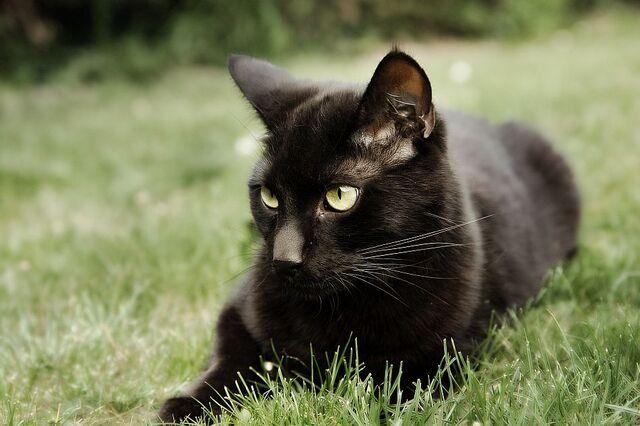 File:Black-Cat-Pictures-7.jpg