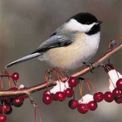 File:Chickadee-wintershot.thumbnail.jpg