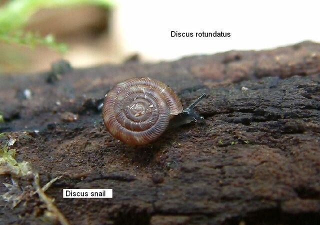 File:Discus Snail.JPG