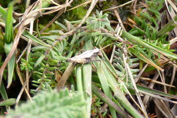 Common Groundhopper