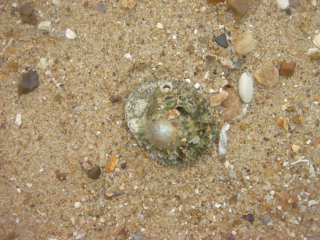 File:Common Limpet.jpg