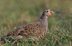 Grey partridge 2