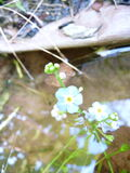 Water Forget-me-not.JPG