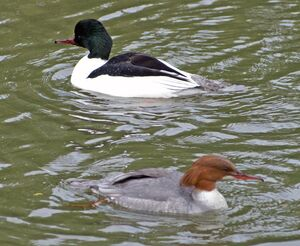 Goosanders or Common Merganser pair - Flickr