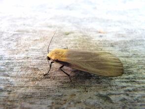 Lithosia quadra ~ Four-spotted Footman