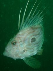 19 Aug 06 - 18b - Scylla - John Dory - cropped